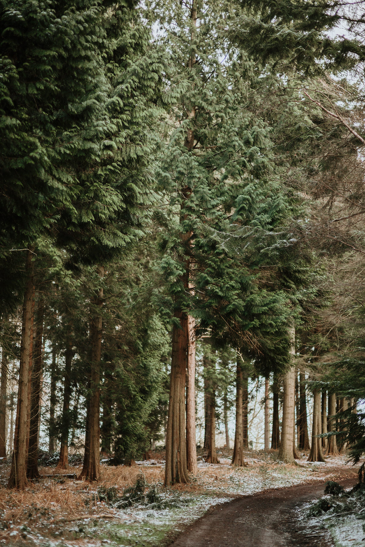 tall fir trees in Wyre Forest during engagement shoot
