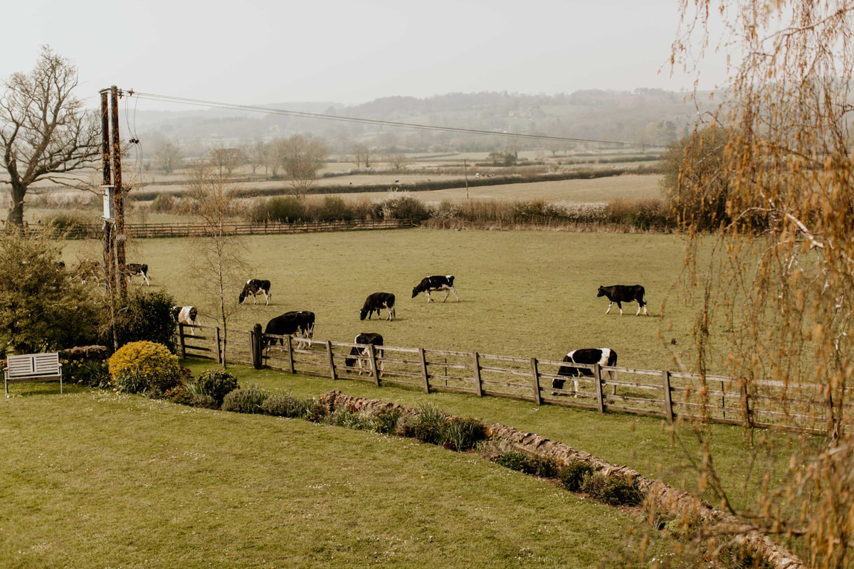 cows on the field in the cotswolds countryside around hyde house